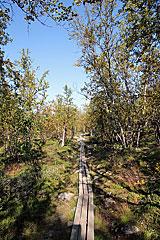 Auf Holzbohlen geht es durch den Fjällbirkenwald