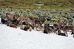 Rentiere nördlich des Skierffe
