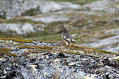 Fjällripa (Alpenschneehuhn)