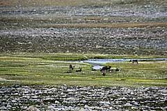 Rentiere äsen auf den Feuchtwiesem am Luohttojávrre